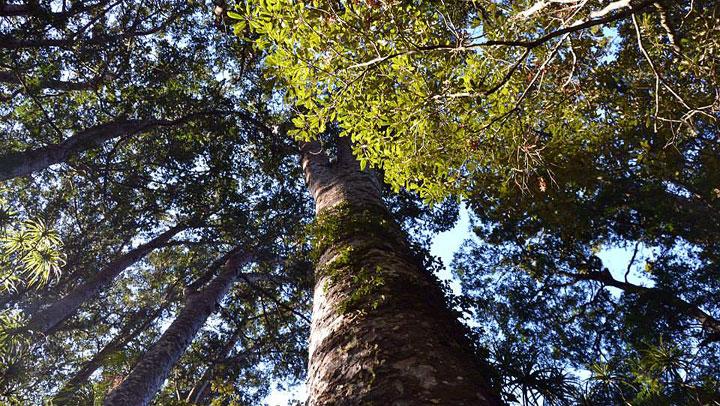 Stand Tall Like a Kauri Tree