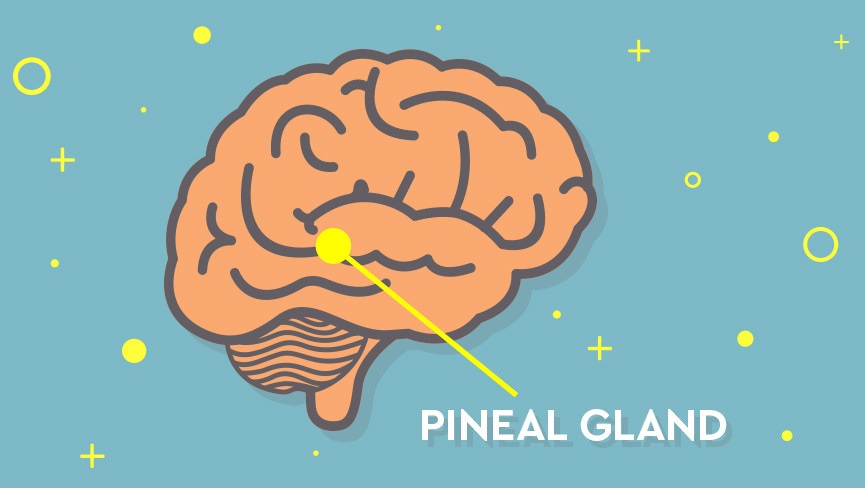What is the Pineal Glandand Why is it Important