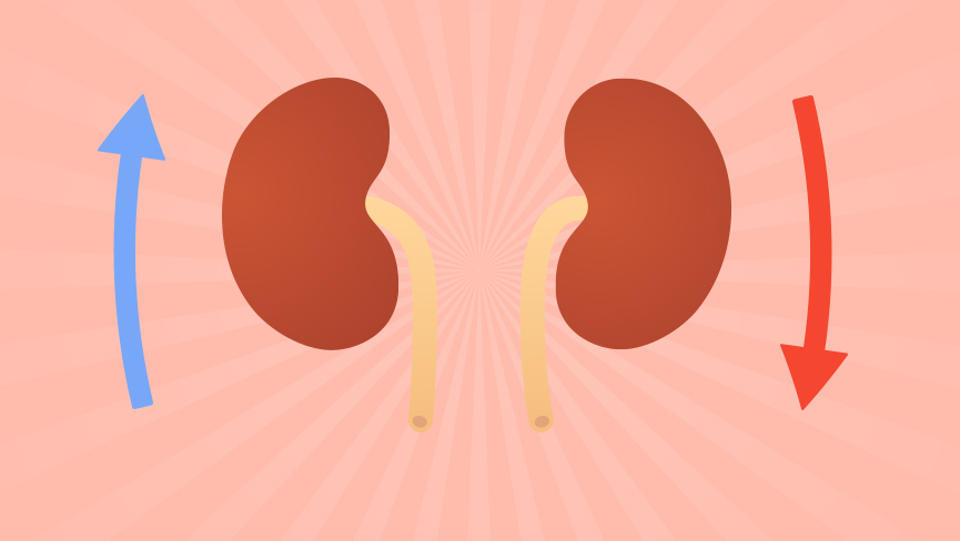 How Your Kidneys Regulate Optimal Energy