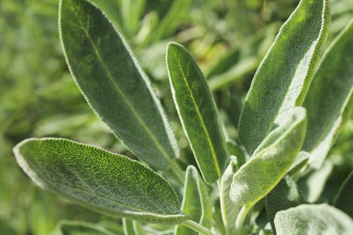 Sage a Solar Herb