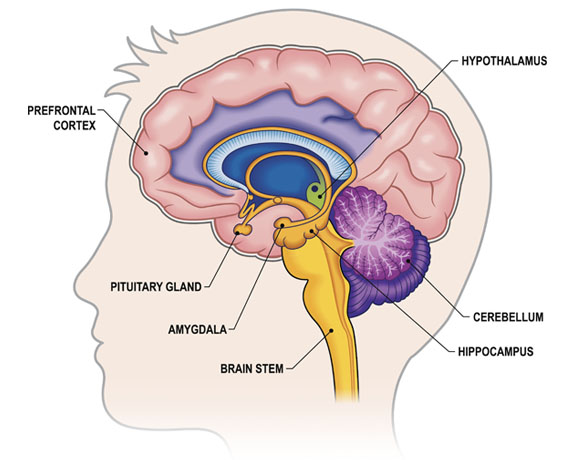 Amygdala in the Brain